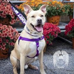 Adopt a dog:Coach/Labrador Retriever / Golden Retriever Mix/Male/Adult,