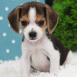 Spot/Beagle/Male/6 Weeks