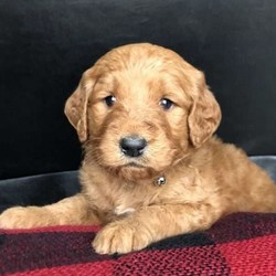 Dasher/Goldendoodle/Male/19 Weeks,Here comes Dasher, a sweet Goldendoodle puppy ready to give you lots of puppy kisses! This kind pup is vet checked, up to date on shots and wormer, plus comes with a 1 year health guarantee provided by the breeder. Dasher is family raised with children and has already begun crate training. To find out more about this delightful pup, please contact Eric today!
