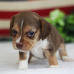 """Cocco/Beagle/Female/5 Weeks,Meet our little princess, Cocco! She doesn't mind playing or taking long morning walks in the fresh air. Cocco has her favorite toys and can play all day. She will make a great companion. When arriving to her new home, Cocco will come up to date on vaccinations, vet checked, and pre-spoiled. Wouldn't you just love to make this cutie yours? Her coat is soft to the touch and she likes nothing more than being pampered. """"Pick me!"""""""