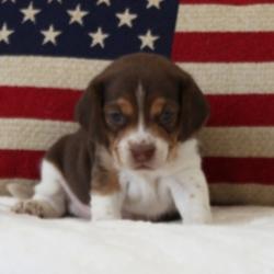 Ranger/Beagle/Male/4 Weeks