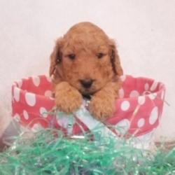 Joey/Goldendoodle/Male/4 Weeks
