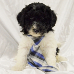 """Dan/Labradoodle/Male/13 Weeks,""""Hi, I'm Dan! I am a sweet, social guy. I am looking for a forever home that likes my super soft, black and white, allergy-friendly coat. I am spunky and I like attention. I am used to children and other pets. My dad is calm and collected. My mother is sensitive and sweet and likes to please. So, I come from a great home life! I will arrive to you vet checked and up to date on my puppy vaccinations. Call today to make me yours!"""""""