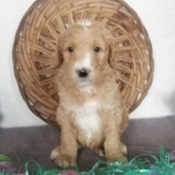 Otis/Goldendoodle/Male/4 Weeks