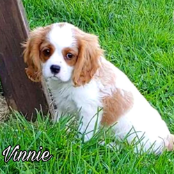 Akc Vinnie/Cavalier King Charles Spaniel/Male/8 Weeks