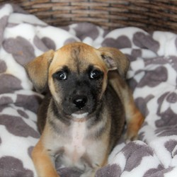 Adopt a dog:Casino/Mountain Cur/Female/Baby,Look at this little diva. She is six weeks old. She is a Cur American Bulldog mix. If you would like to meet her please message us or call 601-587-7141 to schedule an appointment. Adoption fee includes first vaccination and spay/neuter services at 6 months of age.