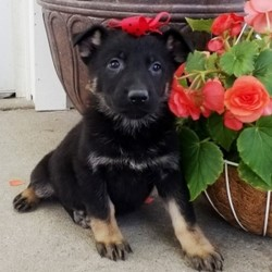 Durango/German Shepherd Dog/Male/8 Weeks,This is Durango! He has a handsome and unique look; doesn't he? He also has an amazing personality to match. Durango loves everyone he meets and loves to shower you with all of his sweet puppy kisses. Durango will have a complete nose to tail vet check and arrive up to date on his vaccinations. You can't go wrong with this cutie. Durango is so anxious to meet his new family. His bags are packed and ready to go!