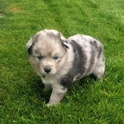 """Belle/Pomsky/Female/5 Weeks,""""Greetings! My name is Belle and I am ready to find my fur-ever home. As you can tell my photos, I'm an adorable baby that specialize in snuggle time. The home I am at now is very nice, but I know that the real fun will start once I arrive at your place. The sooner I can get to you, the better! I will be vet checked and up to date on my puppy vaccinations, so hurry up and make plans to get me to you. Don't leave a puppy like me behind!"""""""