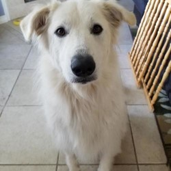 Adopt a dog:Lacy/Great Pyrenees/Female/Adult,You can fill out an adoption application online on our official website.Introducing LACY! Lacy is a 2 year old Pyr mix. Lacy is house trained, good on leash and knows her basic commands. It takes her a little time to warm up to strangers, but does fine as long as you give her space and let her come to you. She is great with kids, but doesn't know her size, so older kids might be best. It also takes a few minutes for her to warm up to other dogs but does fine with slow introductions. She has never been around cats, so it is unknown how she would react. She is laid back and likes to snuggle and get pets from humans. She also enjoys a good wrestling match with other dogs! Lacy is currently in Texas but can be on the next NW transport!  All our dogs require secure VISIBLE fencing. All current pets in adoptive home must be spayed/neutered and up to date on vaccinations.  Adoption Fee: $325  Transport Fee: $250  All of our dogs are spayed/neutered, up to date on vaccinations and receive a certificate of health prior to transport.  Adoption applications can be found on our website: www.greatpyrsandpaws.org  https://greatpyrsandpaws.rescuegroups.org/forms/form?formid=5959  Northwest adopter pays cost of transport to independent transport company. Transport is arranged by GPPR.