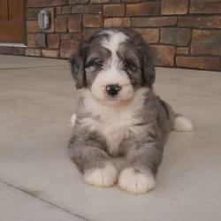 Sophia/Female /Female /Mini Bernedoodle Puppy