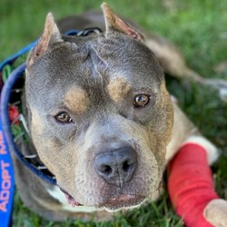 Adopt a dog:Muscles/American Staffordshire Terrier/Male/Adult,Muscles is a 5 year old American Staffordshire Terrier that weighs 53 pounds. He is a cute little low rider. He came to us with deformities in his front 2 legs that made them bow outward. We have done surgery on one leg and will do surgery on the other leg in the near future when the first leg has healed more. He is such a sweetheart and friendly with everyone!