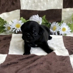 Ebony/Pug/Female/,Talk about gorgeous! This cutie has everything you could ask for: looks, personality and attitude! She loves to walk around strutting her stuff! She's pre-spoiled and is treated like the little princess she is. When arriving to her new home, Ebony will arrive up to date on vaccinations, vet checked, and pre-spoiled. Imagine waking up to loving puppy kisses every morning! Hurry, this cutie has her bags packed and is ready to venture off to her new home!