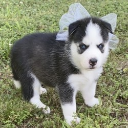 "Miska/Siberian Husky/Female/,""I see you there, staring at me! You couldn't help yourself, could you? I can't say that I blame you. A gorgeous puppy like me deserves to be admired by all! My name is Miska, and puppies like me are a rare find. Can't you just see you and me together? We will be the envy of everyone that sees us. I am so excited about us becoming best friends. Oh, I just can't wait to give you one of my famous puppy kisses. You better hurry and inquire about me now, before someone else does. I don't want to go home with anyone else except you!"""