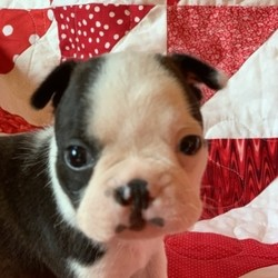 Landon/Boston Terrier/Male/,Meet Landon! Now isn't he the cutest little thing that you have ever seen! This little guy will greet you as a puppy kisses all over. If you're looking for the perfect size little pup to go everywhere with you, Landon is the one! He will turn every head and everyone will fall in love with him. He is ready to be the best companion he can be for you. Don't leave this special boy behind!