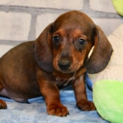 "Ezekial/Dachshund/Male/,""Look at me! I am probably the cutest, little puppy you ever did see. Everyone that sees me always tells me how beautiful I am, and they can't help but shower me with love, hugs, and kisses. I'm hoping that one day you'll be able to do the same. I love to play and I can even take a nap with you. Pick me! I'm ready to share my love. I am current on my vaccinations and vet checked from head to tail, so when I see you I will be as healthy as can be."""