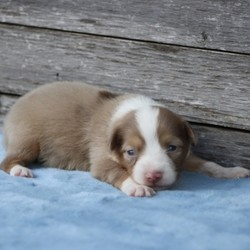 Jethro/Australian Shepherd/Male/,Don't you just have to know this cutie's name? Well it's Jethro, and he is just waiting for you to give him that forever home he is looking for. Jethro is the life of the party and will keep you smiling. He is a true cutie. This handsome baby boy will be sure to come home to you happy, healthy, and ready to play. He will be up to date on his vaccinations and vet checks. Don't let this little boy get away. He will be sure to make that perfect addition that you and your loving family have been looking for.