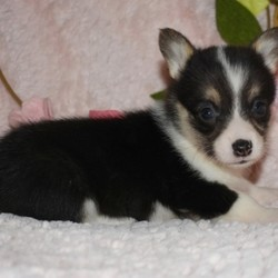 Moxie/Pembroke Welsh Corgi/Female/,Hi, I'm Moxie! It's very nice to meet you. I'm a very outgoing puppy and I'm looking for a family where I would fit in! If you think you could be that family, then hurry up and pick me. I will be up to date on my vaccinations before coming home to you, so we can play as soon as I get there. I'm very excited about meeting my new family, so please don't make me wait too long!