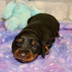 Gannon/Dachshund/Male/,Meet our little prince, Gannon! He loves to wake up early and take long morning walks in the fresh air. Gannon has his favorite toys and can play all day. He will make a great family companion and can't wait to get home to you. Gannon will have a complete nose to tail vet check and arrive up to date on his vaccinations. He's ready to meet his new family! Hurry! Don't let him pass you by!