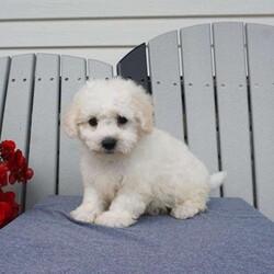 Aldo/Male /Male /Teddy Bear Puppy