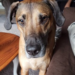 Adopt a dog:Homer/Rhodesian Ridgeback/Male/Adult,Hi All, I'm Homer, a 68lb lap dog. I came from a place where the crate was home and I didn't get to spend a whole lot of time outside of it. Today, the crate is a little scary to me and I hate being locked up, but I think with time and patience I could get used to proper crate training, but I prefer to be free. I understand basic commands (sit, lay down, wait) and train easy.  I am house trained and have free roam of the house with my two four Legged foster brothers. I am a goofy boy who loves to play (with other dogs and people), run, cuddle, and chew toys, its very important I have plenty of hard toys and bones to chew on. This is how I entertain myself when I'm not sleeping or playing with my foster brothers while my foster mom is working from home. I get a little nervous and bark around loud noises and new people, but I'm learning those things aren't so scary when introduced correctly.  I'm lucky to be in a foster home that is introducing me to things outside the four walls of my old crate!  I'm already a new man.  I lived with a cat in my previous home and the thing never wanted to play with me no matter how hard I tried, but I was never aggressive towards him. So cats are okay with me.  Overall I'm a playful loving boy who'd love to fill your home with laughs, cuddles, and love.   If you want to make me part of your FUR-ever family please fill out an application at www.placingpawsrescue.org.  ADOPTION FEE: $350.00 The adoption fee includes all age appropriate vaccinations including rabies, HW test if age appropriate, de-worming, microchip, fecal, spay or neuter, Heartworm and flea and tick preventative.  ADOPTION PROCESS: PLEASE READ CAREFULLY The first step in the adoption process is to fill out an application online at www.placingpawsrescue.org. Once we review the applications, those applicants that are thought to be a good match will be contacted as quickly as possible. We ask that you please be patient with us as we are all volunteers. Then a telephone interview will take place, references checked and a home visit will be conducted. We will then arrange for you to meet the dog. We require that all family members, including current dogs meet the dog prior to adoption.  We put all of the known information in the animals description. If the animal is listed on the website, we are still accepting applications for that animal. We only remove the animal when the final adoption paperwork is signed. The best way to contact us is by email at placingpaws@yahoo.com. It is very difficult for the limited numbers of volunteers to return all calls. Thank you.