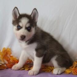Gwen/Siberian Husky/Female/,Meet Gwen! She is sure to make your life complete with every puppy kiss and tail wag. She is a wonderful little girl who loves to cuddle, but also knows how to play and have a good time. Gwen will come home to you current on vaccinations and with our vet's seal of approval. Don't miss out on this one of a kind puppy, as she will bring your family closer together with her infectious personality and warm heart!