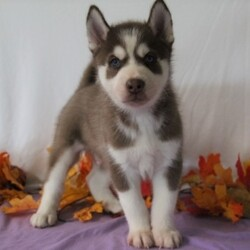 Shawn/Siberian Husky/Male/,From the moment Shawn jumps into your arms, he will be sure to snuggle right into your heart and never leave. This little guy is truly one of a kind and he hopes to find a family that is just as special as he is. Whether playing all day or cuddling with the family, Shawn promises to be your most loyal and loving companion. Before coming home to you, Shawn will be vet checked and up to date on his vaccinations. Don't miss out on making this wonderful boy part of your family!