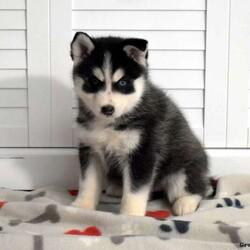 Katerina/Female /Female /Pomsky Puppy