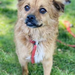 Adopt a dog:Bugsy/Pomeranian/Male/Adult,Our 3 year old pomeranian/terrier mix Bugsy loves the ladies .. whether they be human or canine!  He's a little shy at first meeting, but just give him some time.  He will jump up to say hello and is excited to be cuddled and petted and get his little belly rubbed when he trusts you.  He takes a little longer to feel comfortable with men.  Bugsy is 18 pounds and is eager to go from rescue pup to forever pup.   If interested in meeting Bugsy please submit the online application found on our website www.argosdogrescue.org under Adopt.