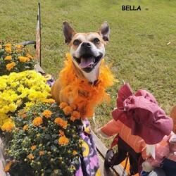Bella/Boston Terrier/Female/Adult