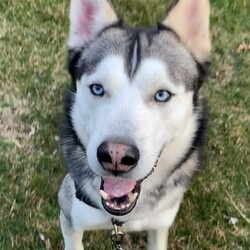 Adopt a dog:Blue/Siberian Husky/Male/Adult,Meet Blue! An owner surrender, Blue is looking for a loving forever home where he can live stress free. He needs a home with experienced owners who understand his anxiety issues and would do best in an adult home (no children). Please no homes with small animals or cats. Interested in adopting Blue? Please visit www.huskyhouse.org today to fill out an application.