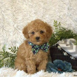 Ryan/Male /Male /Miniature Poodle Puppy