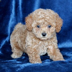Buddy/Male /Male /Toy Poodle Puppy