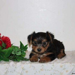 Oakley/Female /Female /Yorkshire Terrier Puppy