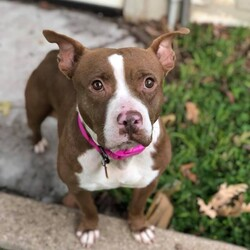 Betty/Pit Bull Terrier/Female/Adult