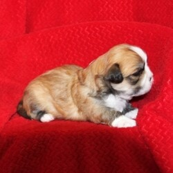 Kal/Lhasa Apso/Male/,Hi, I'm Kal! It's very nice to meet you. I am a very outgoing puppy that is looking for a family where I would fit in! If you think you could be that family, then hurry up and pick me. I will be up to date on my vaccinations before coming home to you, so we can play as soon as I get there. I'm very excited about meeting my new family, so please don't make me wait too long!