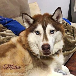 Adopt a dog:Mika/Siberian Husky/Female/Adult,Mika is about 8 and half years old.  Mika recently had knee surgery and is recovering nicely.  Mika is not a fan of the crate but outside the crate she is sweet and calm.  Mika would probably prefer to be the Queen of your castle so she doesn't have to share your love or worry about other dogs. Mika loves to cuddle and would happily by your lapdog!!