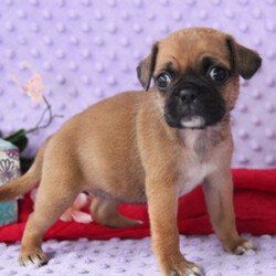 Layla/Puggle/Female/,This is Layla. He is ready to come home and be your best friend. As soon as you walk in the door, he'll be right there to greet you with his wagging tail. Layla will be up to date on vaccinations and pre-spoiled when arriving home to you. Call about this sweet little guy today before it's too late and you miss your chance to add this loving pup to your family!