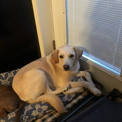 Adopt a dog:Golf Buddy/Labrador Retriever/Male/Adult,update: All he needs is a doggy door secure physical fencing and someone with patience to give him time to adjust. Quiet house preferred.   Golf Buddy was trapped from a golf course by King's Island where he had lived for 6+ months. He had been let out from one of the people in the complex and abandoned.   He is very shy and quiet in the house. Enjoying being with you. He will allow some petting, but in general wants to be close. He sleeps on dog bed at night, crates up when asked (does not need in home without other fosters) and eats in his crate. He loves the other fosters, and is very vocal when playing with them. Not an aggressive bone in his body. Will not take treats.   Outside he alerts to everything. Noise factor was one of the reason I was asked to trap him. Inside he does not make a peep. Recommended that he have outside access when owner home and kept inside when owner gone. He needs a secure fence with home visit. Must be within 50 miles of Cincinnati. No tie outs and no invisible fencing  Would be considered a project dog, going to take time to become accustomed to another home situation. Does not tolerate a leash nor walk on one.  All of the adults in our program are fully vaccinated, spay/neutered, and have been microchipped.  The adoption fee is $175. Applications can be submitted online at:  https://form.jotform.com/FredsMission/a