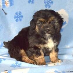 Dawson/Male /Male /Miniature Aussiedoodle Puppy