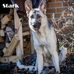 Adopt a dog:Stark/German Shepherd Dog/Male/Adult,Stark is a very special boy who will need a patient, special family. He has a laundry list of medical problems, the least of which is a need to put some meat on his bones. This is due to the fact he has