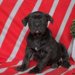 Tanner/Male /Male /Cane Corso Puppy