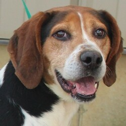 Adopt a dog:JD/Treeing Walker Coonhound/Male/Adult,JD is a 4 year old male Walker Hound that was picked up by the Dog Warden as a stray.  Perhaps he was hunting and didn't do well and was left behind, or maybe someone just didn't want him anymore.  We are here to change that for him and get him into a home where he can become the sweet companion that hounds can be.  He is very strong and has no leash manners, but he is learning and will get better with that.  He will definitely need a fenced yard to allow him his