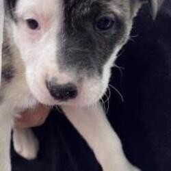 Nola/Pit Bull Terrier/Female/Baby