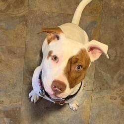 Bobby Joe/Pit Bull Terrier/Male/Adult