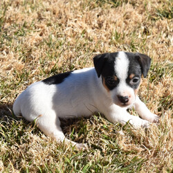 Perci/Jack Russell Terrier/Female/