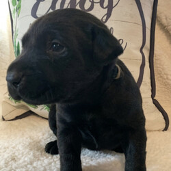 Arya/Labrador Retriever/Female/,Meet Arya! This beautiful, baby-doll faced princess can't wait to venture off to her new home. This cutie will turn heads wherever she goes. Her coat is absolutely beautiful and perfect to pet all day! Arya will have a nose to tail vet check and arrive up to date on her vaccinations. She is so excited to meet you. She can't wait to jump into your arms and shower you with puppy kisses!