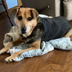 Adopt a dog:Molly/Mixed Breed/Female/Adult,Hi, I'm Molly! I am a sweet, shy girl, but once I am comfortable I love being with you. New things and loud noises are scary to me and I tend to shut down. Being on a leash makes me nervous, so a house with a fence is required. I am house trained and will let you know when I need to go out. I am living with cats and I ignore them. Young kids would be too much for me right now but I do great with the older kids in my house. If you are looking for a quiet, sweet girl who loves being with her favorite people, then I am the girl for you.  If interested in meeting me, please apply at: AHeinz57.com