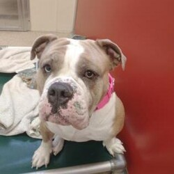 Adopt a dog:Harley/English Bulldog/Female/Adult,Harley is a 2 1/2 Olde English Bulldog who is just a HAM! She would do best in a home as an only pet and with older kids, she would love a home with a fenced in yard to run and play in. Her favorite things to do are play ball and lay in the sunshine.
