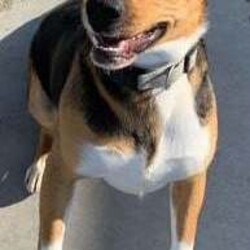 Adopt a dog:Bruno/Beagle/Male/Adult,Meet Bruno! He's a sweet and energetic 1 year old beagle mix. He would love to find his furrever home! Please call us at 641-828-7387 to make an appointment to meet this handsome boy!