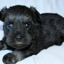 Kaleb/Miniature Schnauzer/Male/,I have a lot of adventures planned for you and me. Are you the lucky one for me? I sure hope so! My name is Kaleb and I'm a cutie. I love to share, and I'm good at it, too. If you like, you can cuddle with me in my doggy bed on those cold nights. I'll make plenty of room for you. You can take me for long walks, as I'm always on my best behavior. I'll be the center of attention with my shiny coat and brilliant personality. When I arrive to my new home, I will be up to date on my puppy vaccinations and vet checked from head to tail. Don't miss out on me!